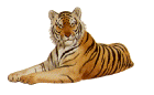 reclining tiger facing left