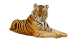 reclining tiger facing right